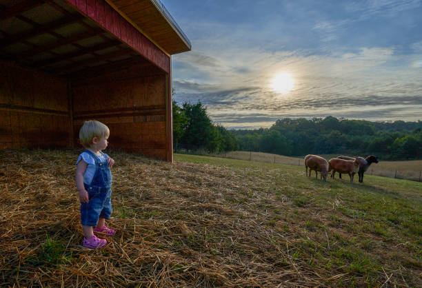 A Toddler Girl Watching Sheep Grazing in an Agricultural Field During a Vibrant Sunrise stock photo