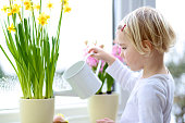 Cute little child, blonde curly toddler girl, giving water to beautiful hyacinth and narcissus flowers standing next to a big window on rainy spring day