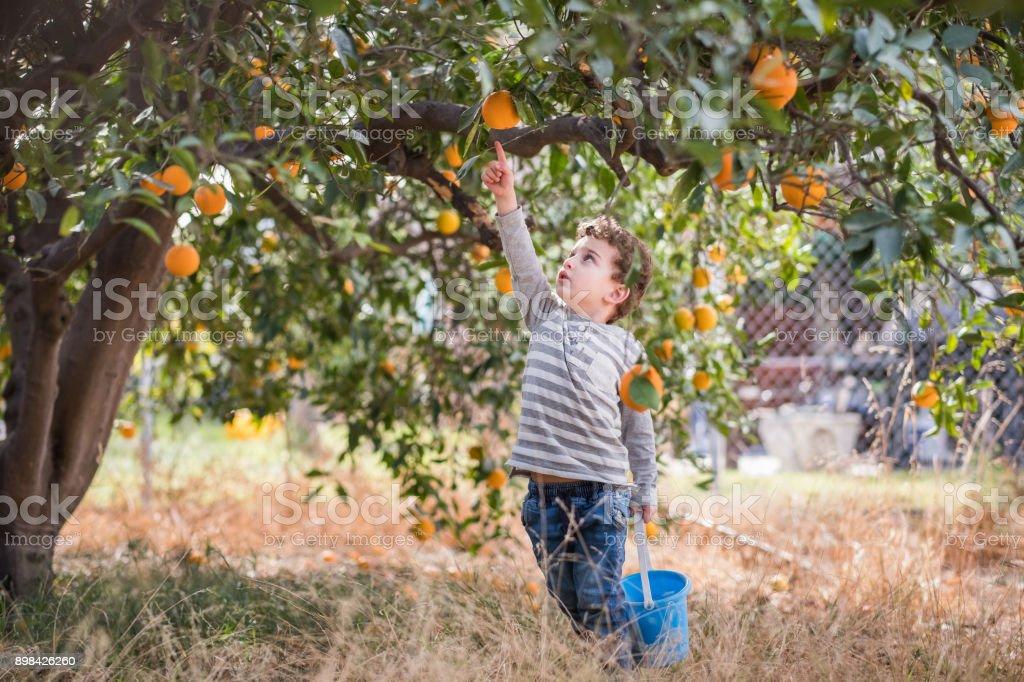 Toddler picking oranges stock photo