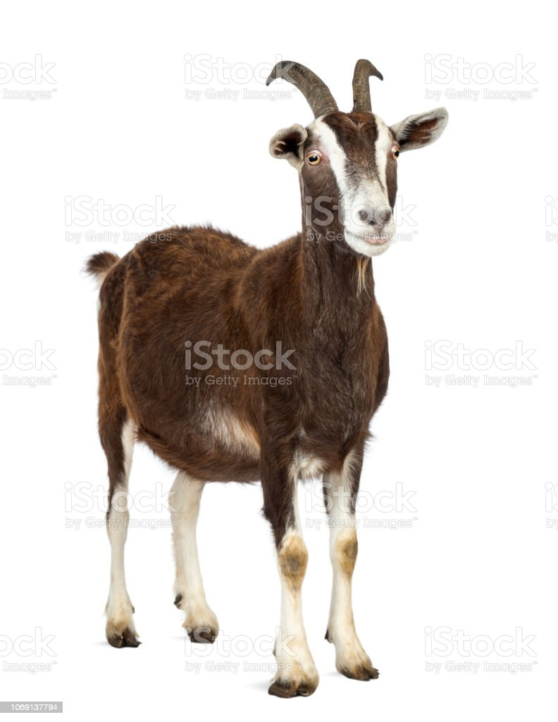 Toggenburg goat looking away against white background stock photo