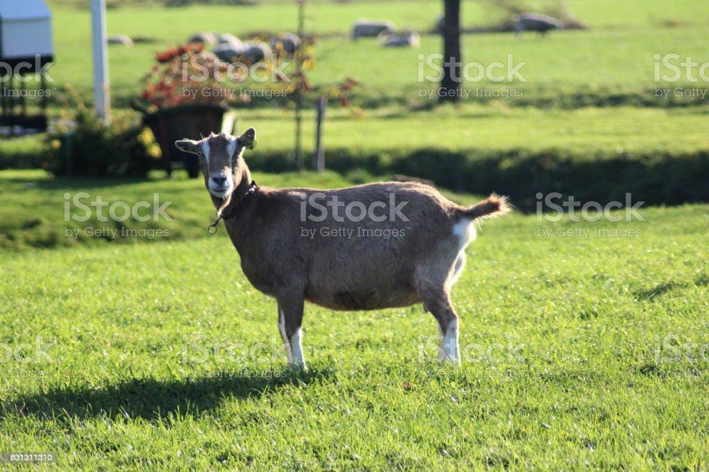 Toggenburger goat stock photo