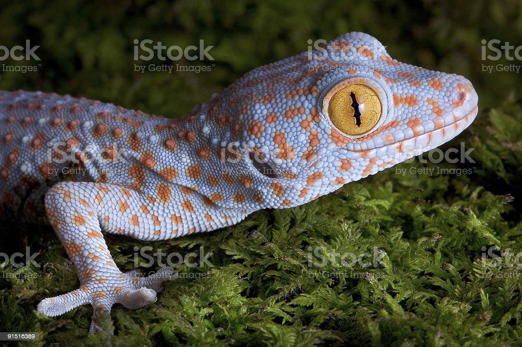 Fotografía de Gecko Gecko Bebé Primer Plano y más banco de imágenes ...