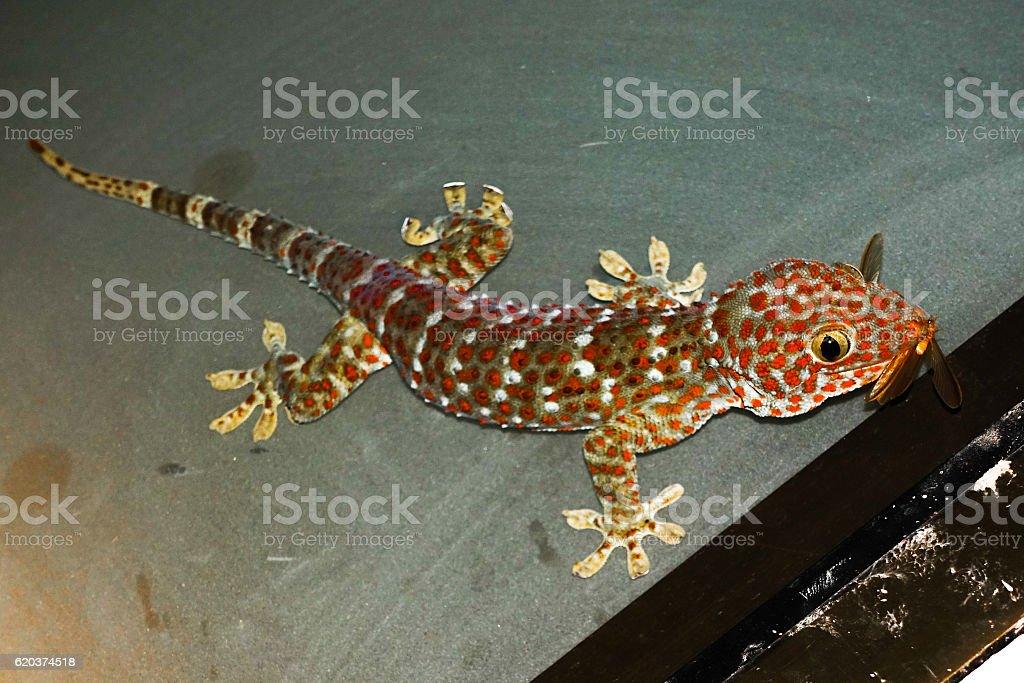 Tokay Gecko eating foto de stock royalty-free