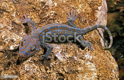 Tokay Gecko, gekko gecko, Adult standing on Rock, Eating Insect