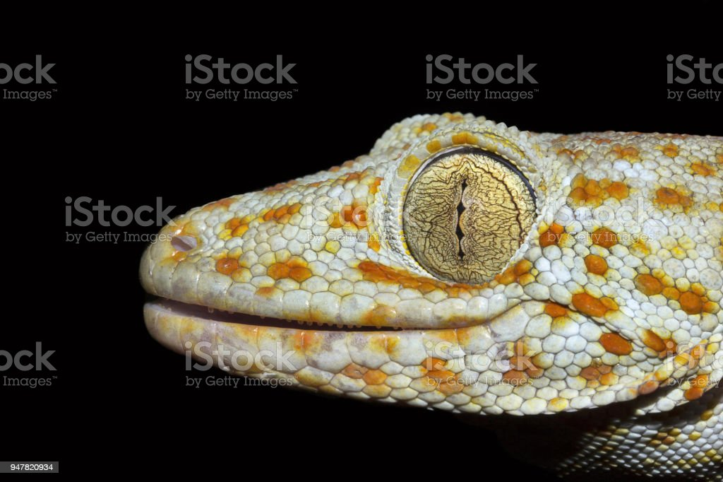 Fotografía de Gecko De Tokay Gekko Sp Gekkonidae Trishna Tripura ...