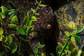 Tokay Gecko in a terrarium