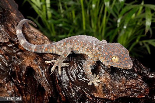 Tokay Gecko (Gekko gecko) on a wet log in
