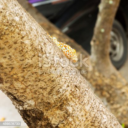 Tokay gecko at tree trunk in Thailand.