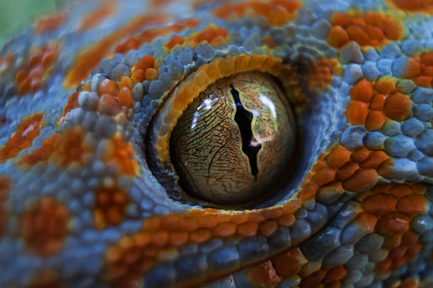 Tokay gecko (Gekko gecko) stock photo
