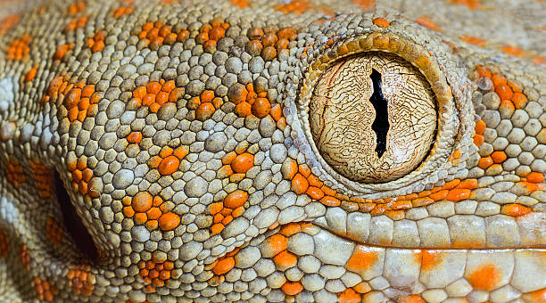 tokay gecko - animal eye stock pictures, royalty-free photos & images