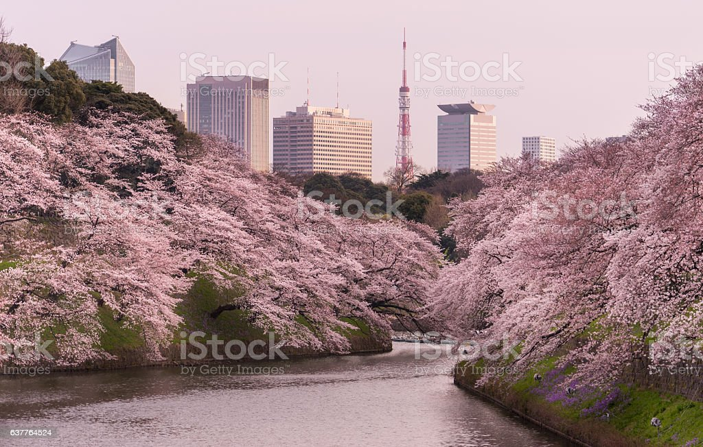 Tokyo Cherry Blossoms stock photo