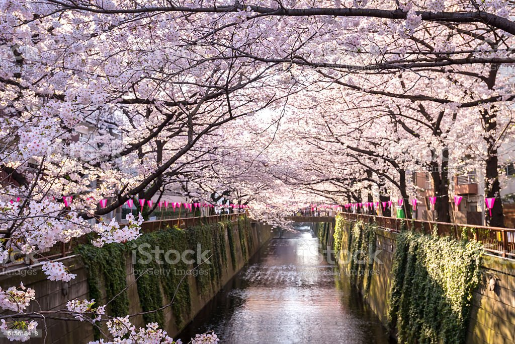 Tokyo, Japan at Meguro Canal in the spring season. stock photo