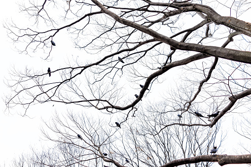 Tokyo, Japan Yoyogi park with group of many large black ravens crows birds perched on large tree branches