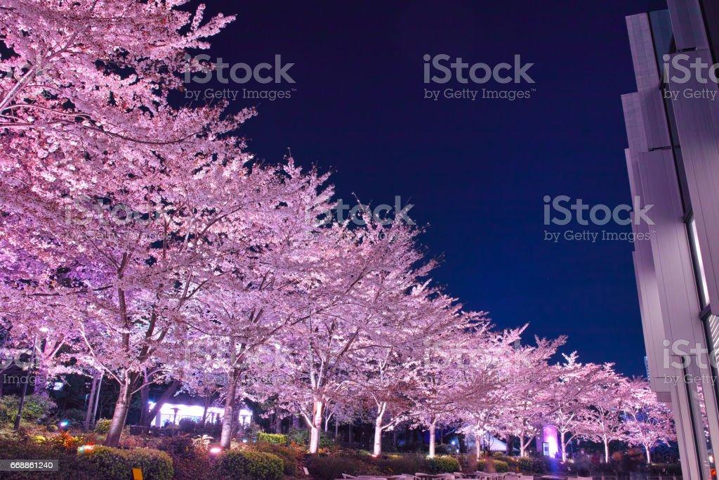 Tokyo Midtown's evening cherry tree stock photo