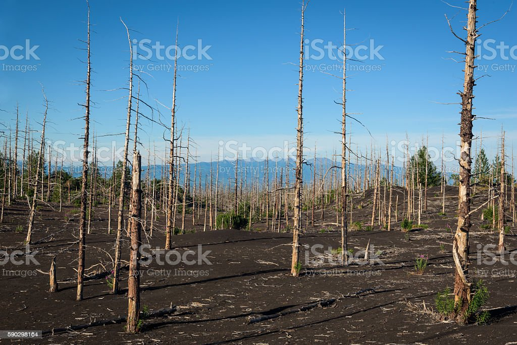 Tolbachik dead forest, a silent witness of a disaster stock photo