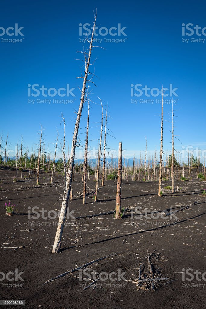 Tolbachik dead forest, a silent witness of a disaster Стоковые фото Стоковая фотография