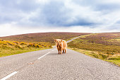 Highland cattle is occupying a country road like a toll collector