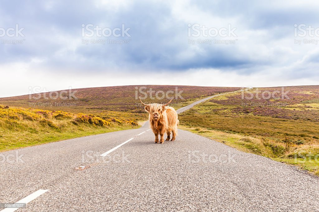 toll road with a giant highland cow as toll collector stock photo