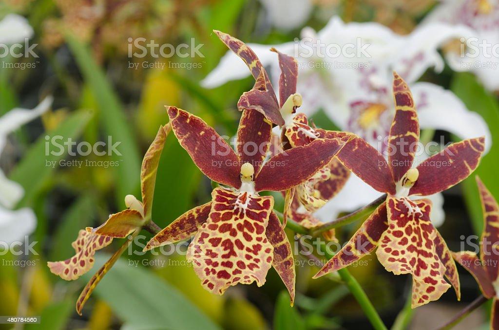 Tolumnia Oncidi flower stock photo