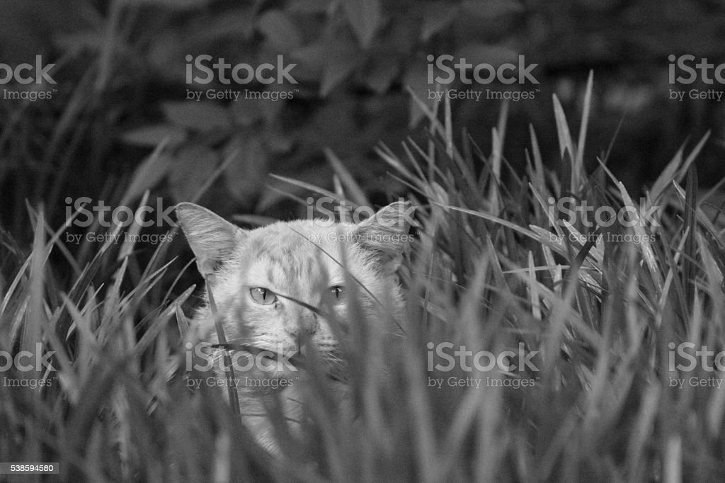 Tom Cat in the Liriope stock photo