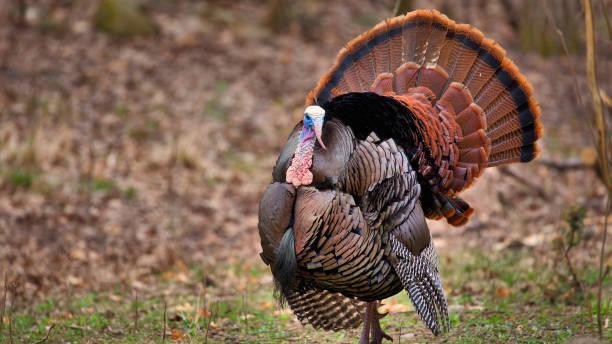 tom turkije flirten voor een stuurman - vogel herfst stockfoto's en -beelden