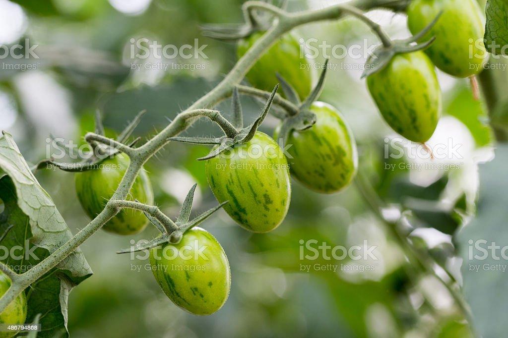 Tomate jaspeado pera verde stock photo