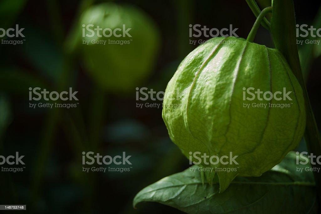 Tomatillo on the Vine stock photo