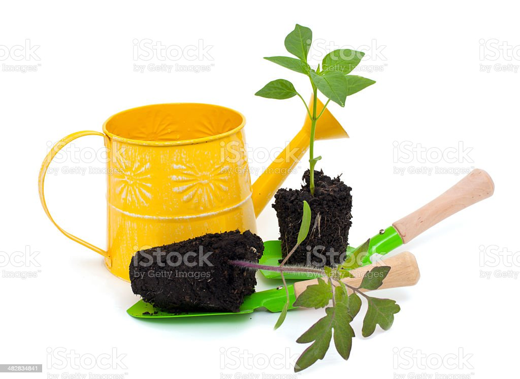 tomato and paprika seedlings with gardening tools stock photo