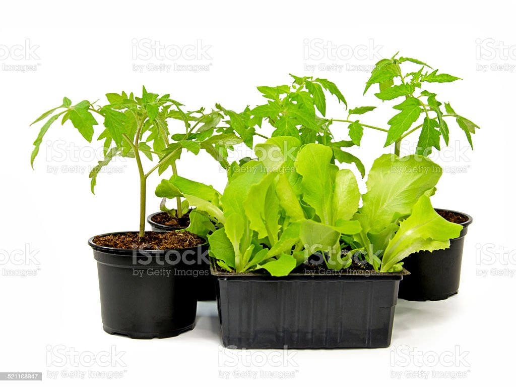 Tomato and Salad stock photo