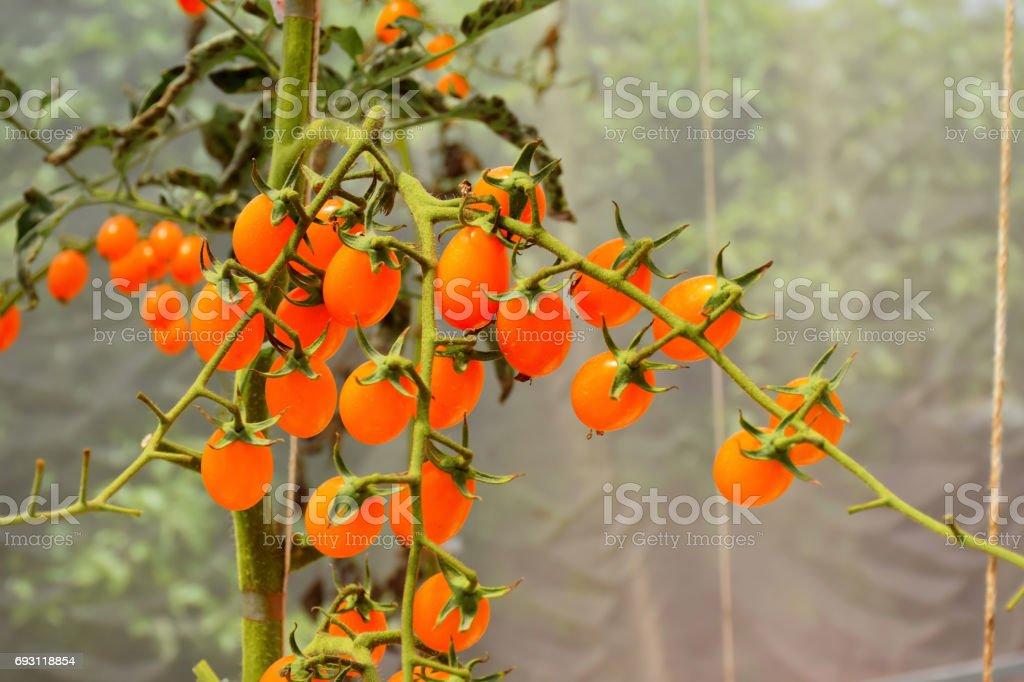 Tomato And Tomato Tree In Greenhouse Farm Stock Photo