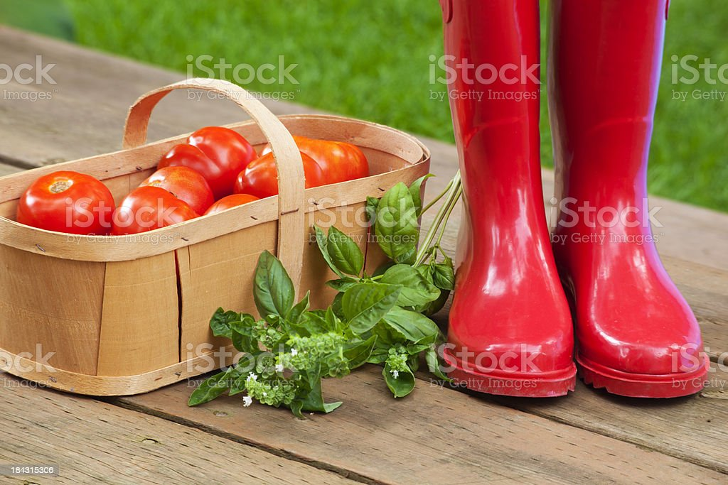 Tomato Basket Red Boots and Basil stock photo