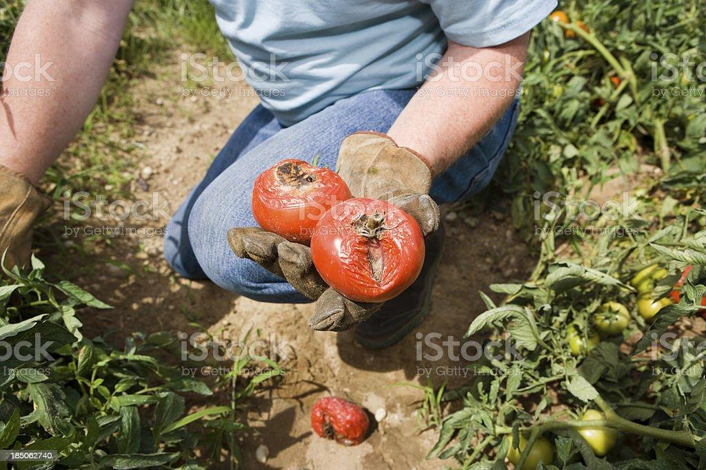 Tomato Blight stock photo