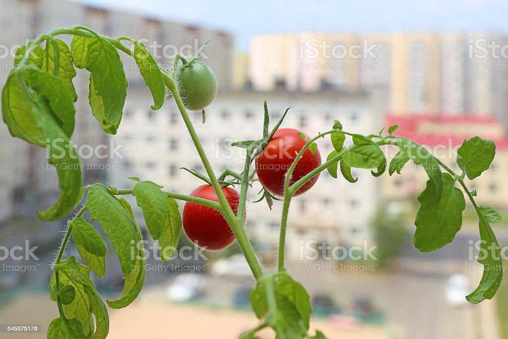 Tomato bush on a window sill of the city apartment stock photo