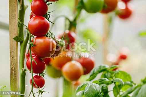 Tomato Cluster In Greenhouse