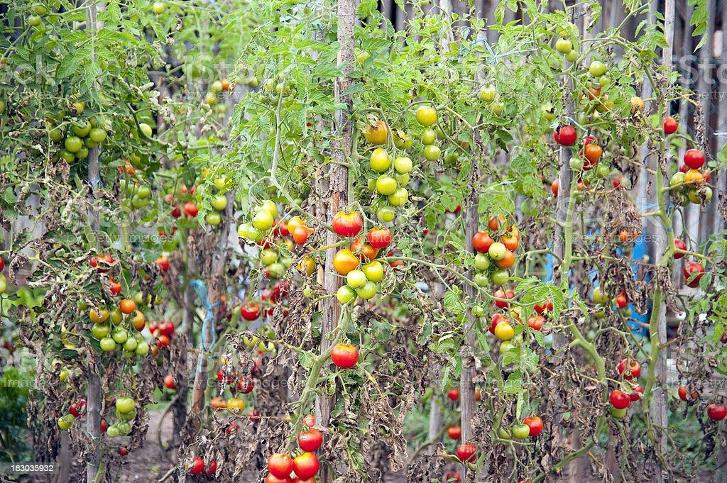 tomatenpflanzen im gartentomatenstauden stock fotografie und mehr bilder von abnehmen istock. Black Bedroom Furniture Sets. Home Design Ideas