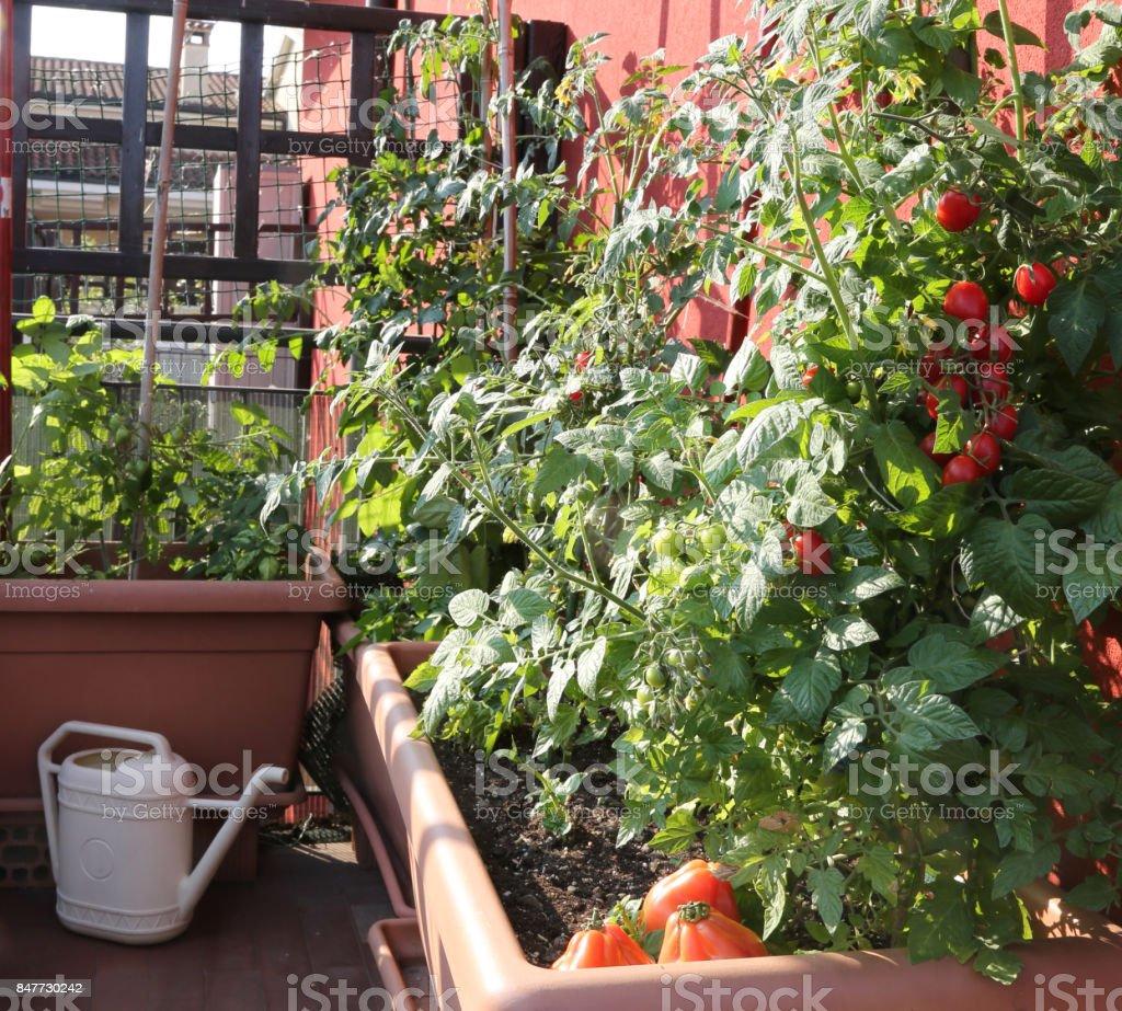 Cultivo De Tomate En Los Jarrones De Un Huerto Urbano En La