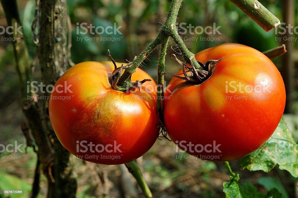 tomato disease: late blight of tomato stock photo