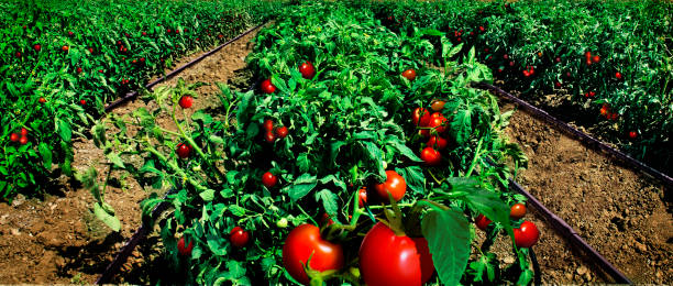 tomato field and modern agriculture - tomato field stock photos and pictures