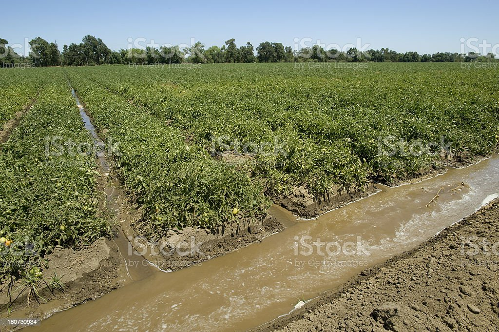 Tomato Field Irrigation, California stock photo
