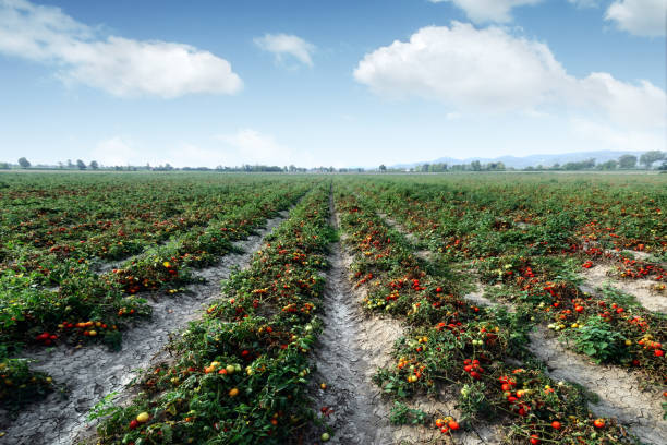 tomato field on summer day - tomato field stock photos and pictures