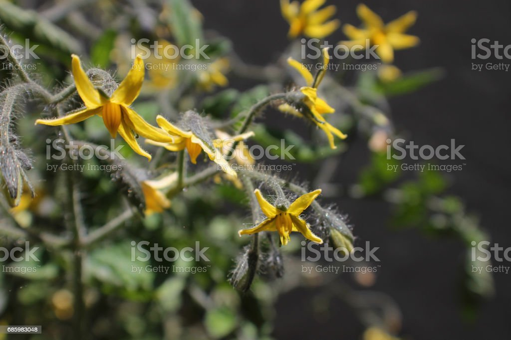 Tomato Flowers stock photo