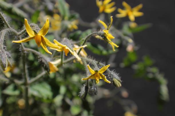 Tomato Flowers stock photo