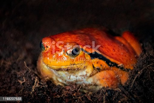 Close-up of Tomato frog on land. This species is endemic to Madagascar.