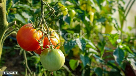 Tomato fruit banner. Growing tomatoes in a greenhouse.