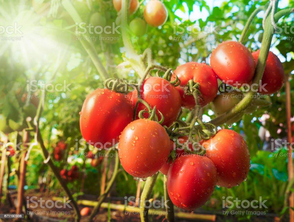 Gota en el tomate