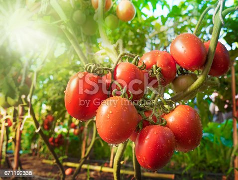 istock Tomato fruit with water drop and sunlight 671192338