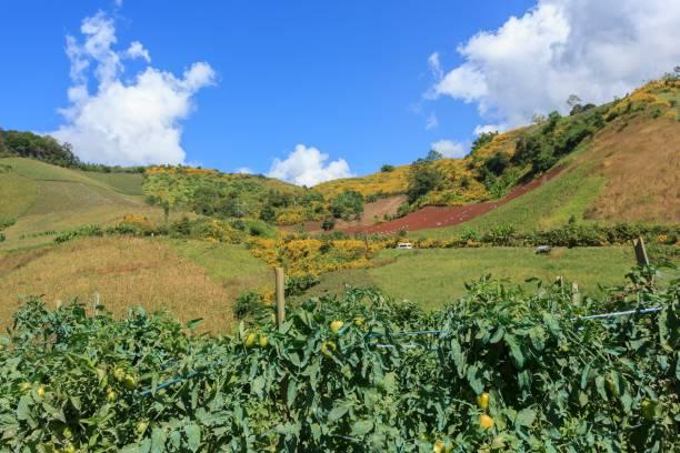Tomato garden on the mountain stock photo