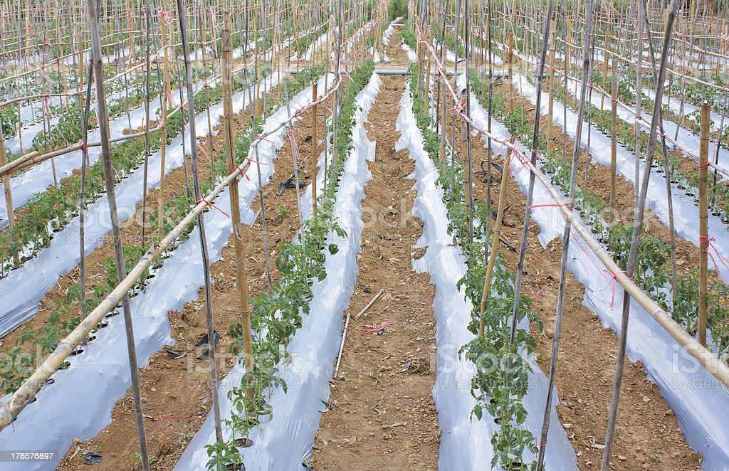 Tomato garden stock photo