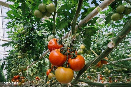 Fresh and organic tomato farm