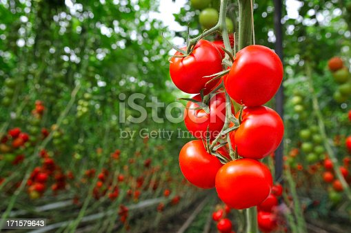 Red ripe tomatoes growing in a greenhouse. Ripe and unripe tomatoes in the background.